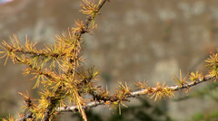 Stock Video Footage of Conifer