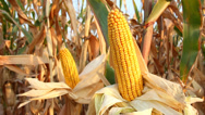 Stock Video Footage of Yellow corn