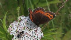 Beautiful Large Copper Butterfly, Lycaena dispar Stock Footage