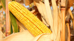 Ripe corn cob Stock Footage