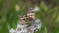Painted Lady Butterfly, Vanessa cardui Stock Footage