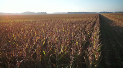 Aerial corn flight Stock Footage