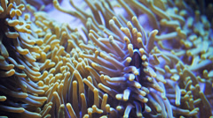 clownfish and green anemone - stock footage
