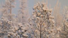 Winter pine Stock Footage