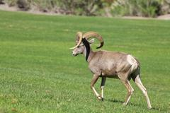 Desert Bighorn Sheep Ram Stock Photos