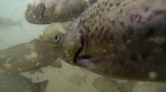 Rainbow Trout (Oncorhynchus mykiss) underwater at a fish farm - stock footage