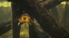 Vesinokkaeläin Arkistovideo