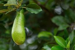 Fresh avocado Stock Photos