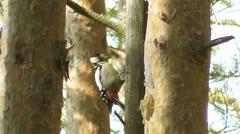 Woodpecker Stock Footage