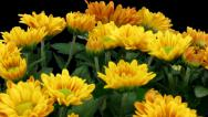 Stock Video Footage of Time-lapse of opening orange chrysanthemum flower buds 2b1