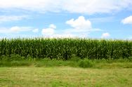Stock Photo of cornfield in front of blue sky