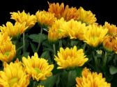 Stock Video Footage of Time-lapse of opening orange chrysanthemum flower buds 2b3 (DCI-2K)