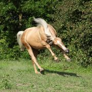 nice palomino horse with long blond mane running - stock photo