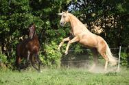 Two quarter horse stallions fighting with each other Stock Photos