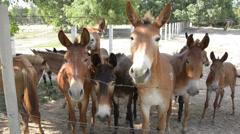 Mule Stock Footage