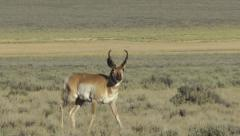 Pronghorn male close-up, walking 1 Stock Footage