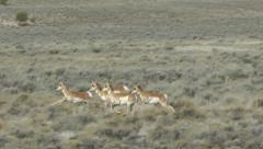 Pronghorn herd running Stock Footage