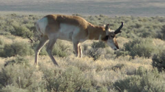 Pronghorn male closeup, walking and eating Stock Footage