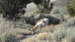 Pronghorn walks to a stream and drinks Stock Footage