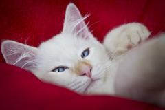 sleepy ragdoll cat - stock photo