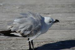 silver gull chick shake - stock photo