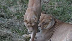 Lionesses, Panthera leo Arkistovideo