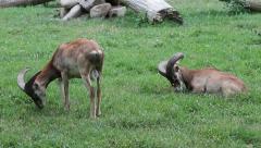 Mouflons, Wild Goats, Ovis ammon musimon Stock Footage
