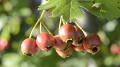 Hawthorn fruits Stock Footage