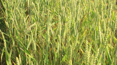 Cornfield in the wind Stock Footage