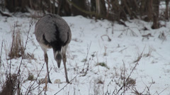 Greater Rhea Stock Footage
