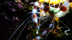 Banded coral shrimp Stock Footage