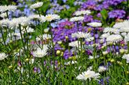 Stock Photo of beautiful white daisy garden