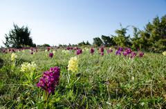 wild orchids field - stock photo