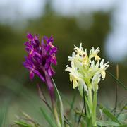 Pair of wild orchids - stock photo