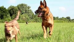 Overrunning dogs field Stock Footage