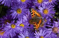 Stock Photo of tortoiseshell butterfly