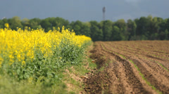 Fertile spring soil with green plants, flourish rape field with yellow flowers Stock Footage