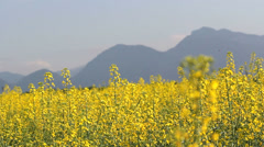 Splendid scenery, yellow bright rape flowers in wind breeze, mountain background Stock Footage