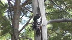 woodpecker - stock footage
