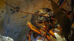 Crayfish Stock Footage