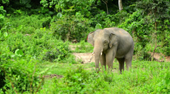 Adult elephant in the forest. thailand Stock Footage