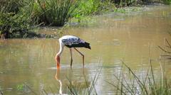 Wading bird painted stork. sri lanka Stock Footage