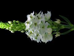"""2K Time-lapse of opening white """"Star-of-Bethlehem"""" flower 2v3 Stock Footage"""