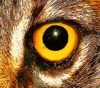 wildcat eye close up - stock illustration