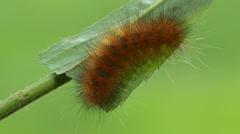 Virginia Tiger Moth (Spilosoma virginica) Caterpillar 2 Stock Footage