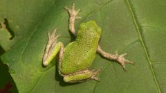 Gray Treefrog (Hyla versicolor) 6 Stock Footage