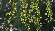Stock Video Footage of Beautiful scenery, green birch branches in sunlight in wind breeze