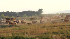 Cowherd and herd of cows walking far away on hill at twilight Stock Footage