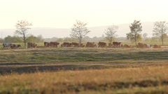 Herd of cows walking on spring hill at twilight Stock Footage