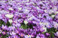 Stock Photo of group of crocuses
